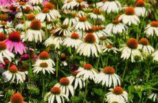 Эхинацея: лечебные свойства и ее применение